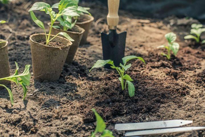 Что нужно класть в лунку при посадке помидоров весной