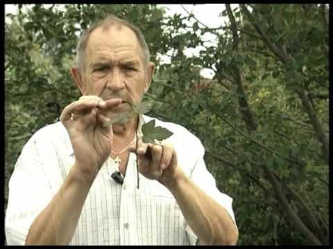 Пузыреплодник калинолистный: посадка и уход за кустарником в саду