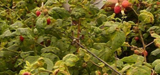 Описание сорта малины солнышко с фото
