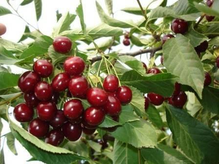 Черешня «аделина»: описание сорта, опылители, фото