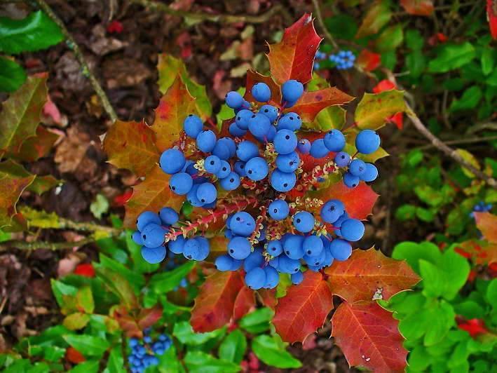 Магония падуболистная (mahonia aquifolium): фото, посадка и уход