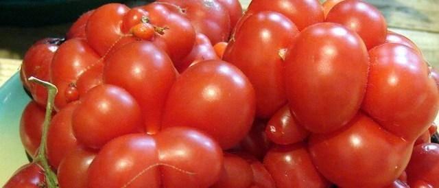 Выращивание томата любимый праздник