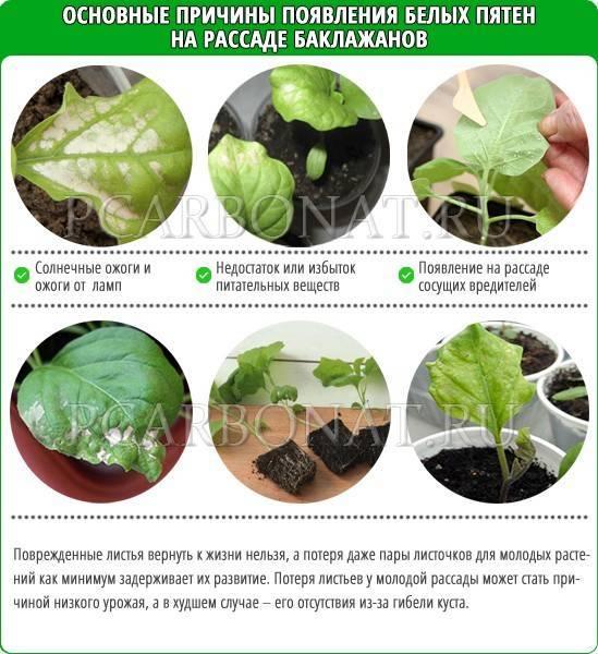 Выращивание баклажанов и борьба с вредителями