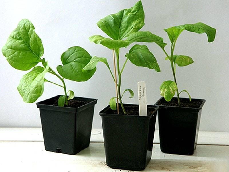 Пошаговая инструкция по выращиванию рассады баклажанов в домашних условиях с фото каждого этапа