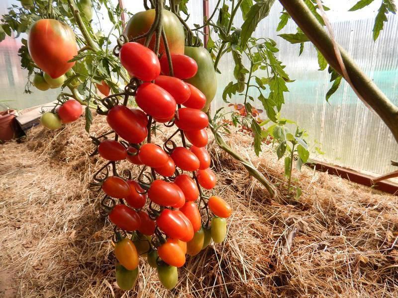 Томат дамские пальчики: отзывы и фото, главные особенности сорта, показатели урожайности и правила выращивания