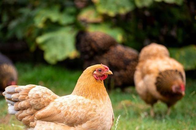 Куры фокси чик — лисьи цыплята в курятнике