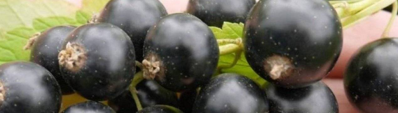 Смородина чёрная благословение: основные характеристики