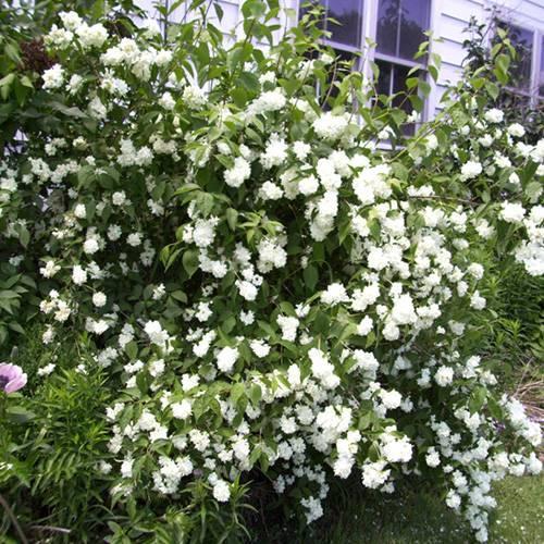 Чубушник: секреты популярности.  мой сад, огород. копилка дачного опыта.