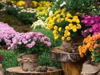 Чем подкормить хризантему, чтобы зацвела: органика или минеральные удобрения