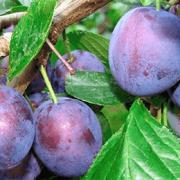 Кабардинская ранняя: сладкая слива для южных регионов