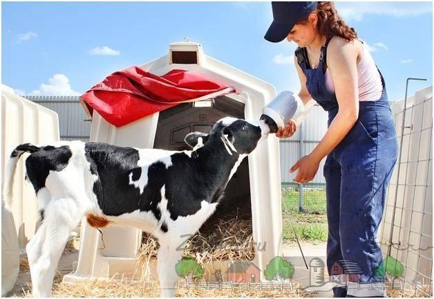 Стимуляторы роста для быков. топ гормональных препаратов для коров