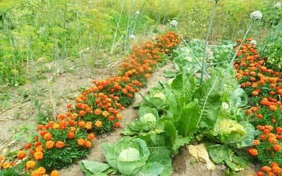 Что после чего можно садить на огороде севооборот