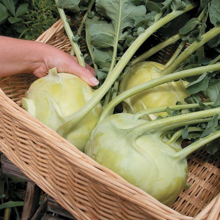 Как вырастить кольраби: все о посеве, уходе и сортах