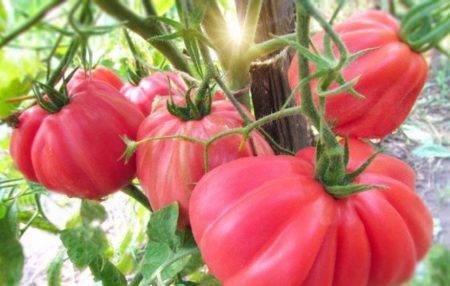 Томат инжир розовый: отзывы, фото