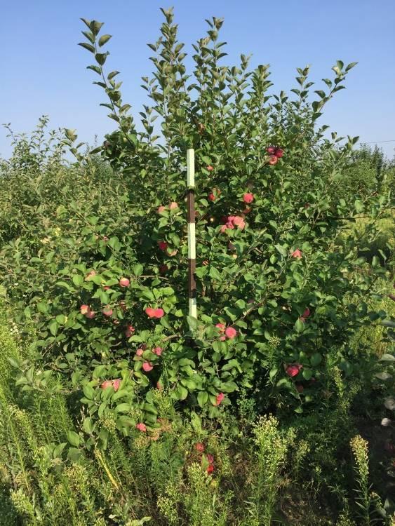 Описание, правила посадки, ухода и размножения яблони серебряное копытце