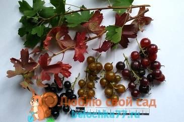 Сорта смородины золотистой, описание, выращивание и уход