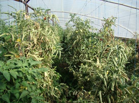 Почему у помидоров закручиваются листья во внутрь, что делать с кучерявой макушкой