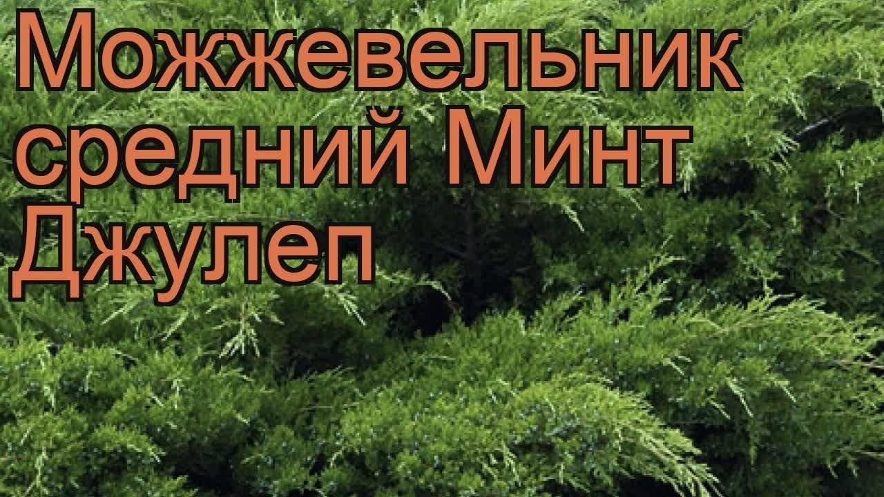 Можжевельник средний минт джулеп: фото в ландшафтном дизайне