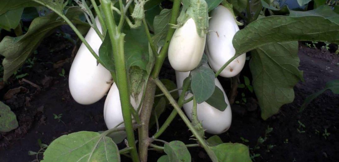 Баклажан вкус грибов: описание, фото, отзывы