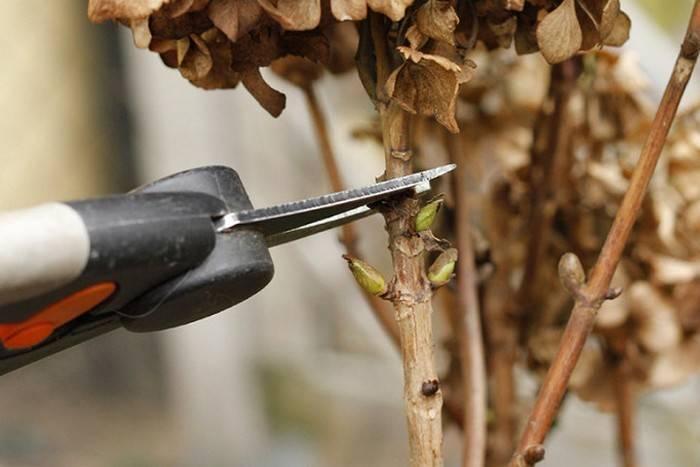 Гортензия крупнолистная (84 фото): правила посадки и ухода в открытом грунте, болезни широколистной гортензии, обзор сорта «эрли блю» и других