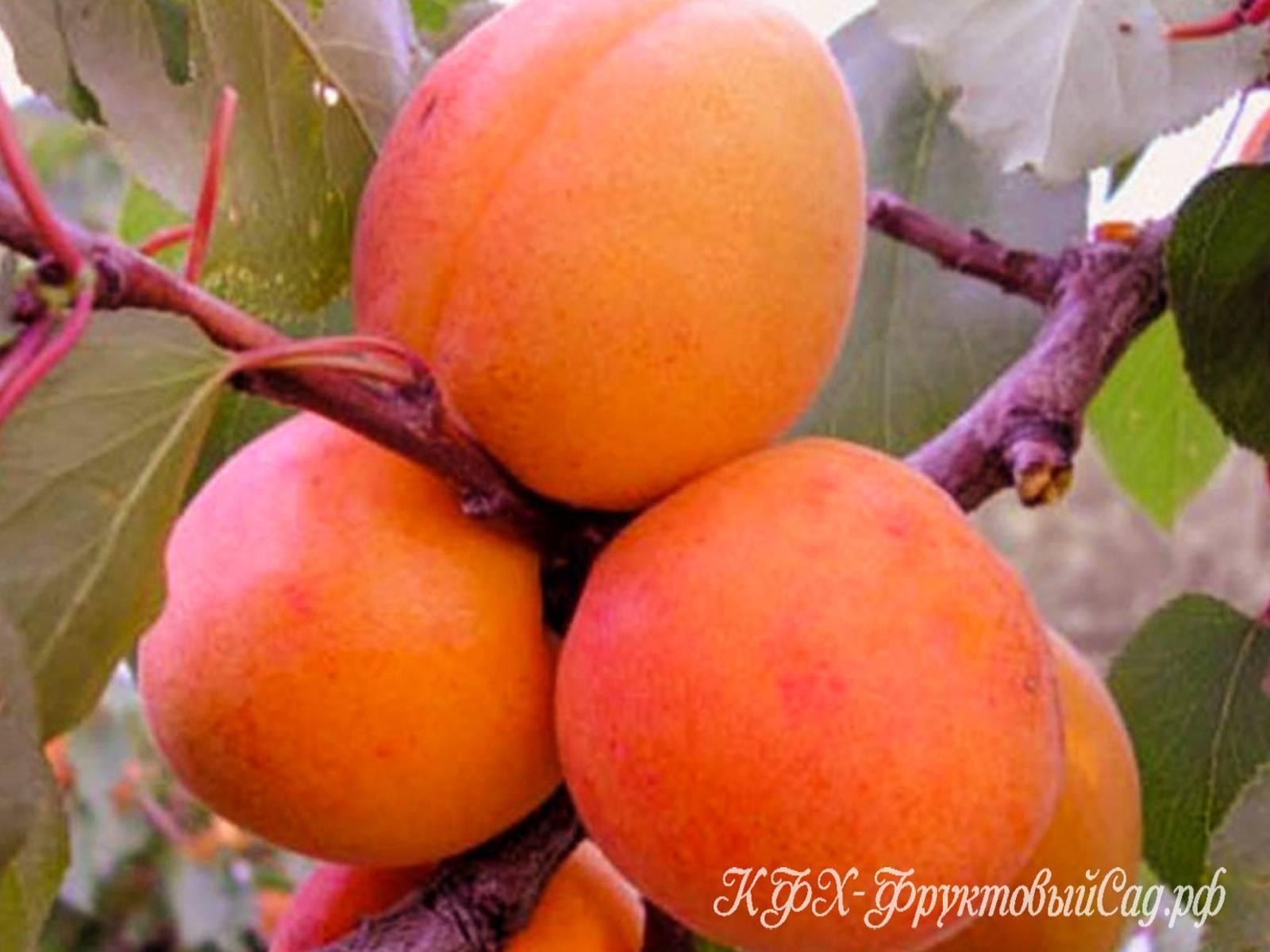 Характеристика высокоиммунного сорта абрикоса саратовский рубин