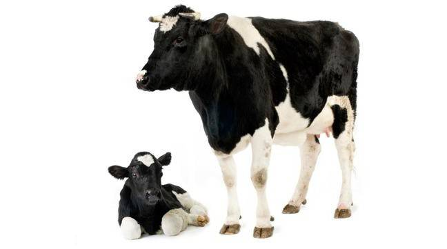 Молозиво коровы – сколько давать теленку?
