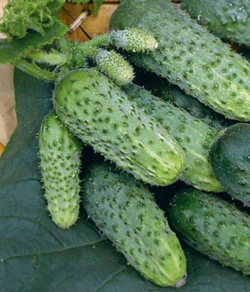Огурцы зятек и теща: особенности выращивания гибридных сортов
