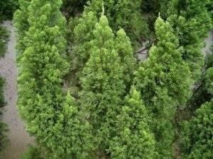 Можжевельник китайский блаув (juniperus chinensis blaauw)