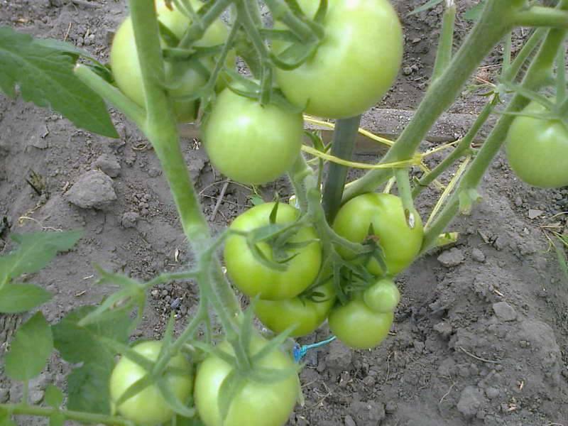 Особенности агротехники сорта «денежный мешок» для лучшего урожая