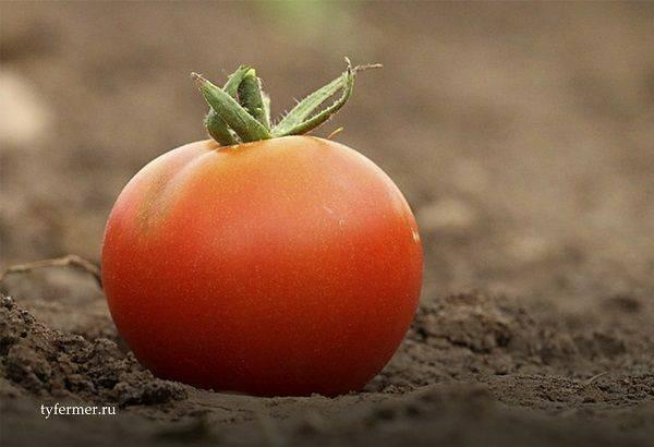 Томат абаканский розовый: особенности и 6 этапов выращивания