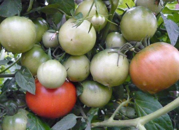 Удивительный сорт томата «ультраскороспелый» f1: характеристика и описание раннеспелого парникового вида помидор, фото спелых плодов