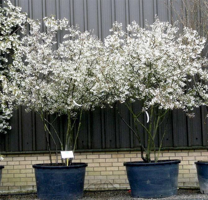 Садовая ирга – выращивание и уход, виды, сорта с фото, размножение