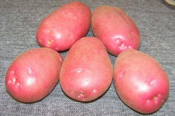 Картофель родриго: описание сорта, фото, отзывы, характеристики