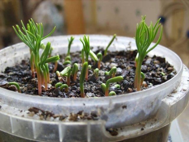 Как правильно вырастить сосну из семян в домашних условиях