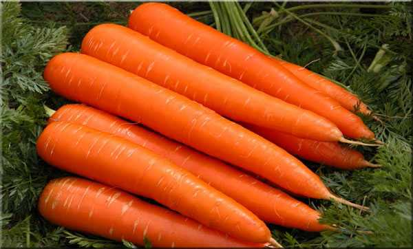 Сорт моркови лосиноостровская 13