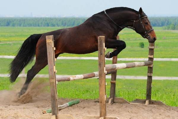 Голштинская порода лошадей: описание, фото, характеристика