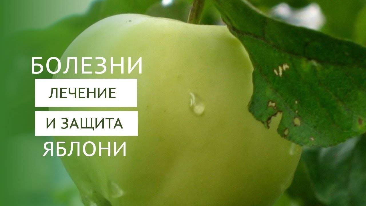 Летняя яблоня неженка