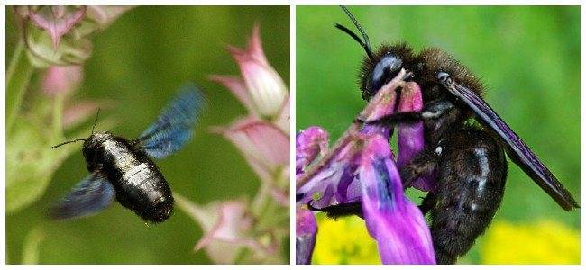 Укус пчелы плотника