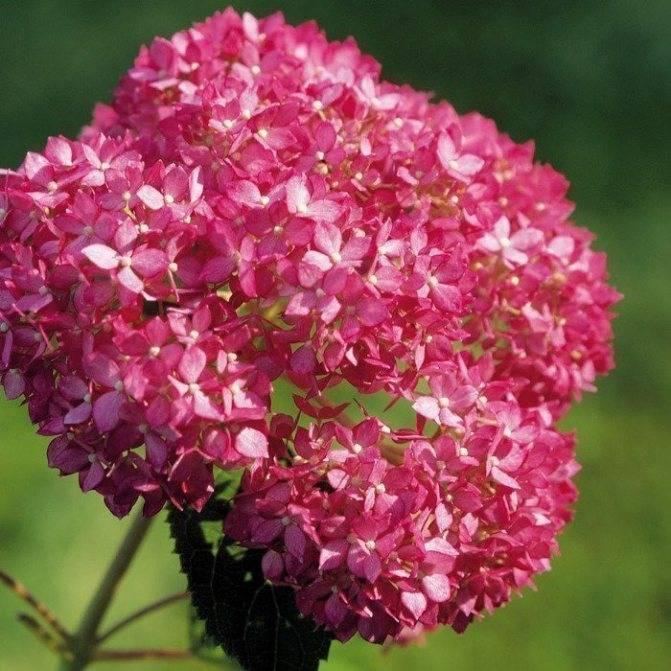 Гортензия древовидная анабель hydrangea arborescens 'annabelle'