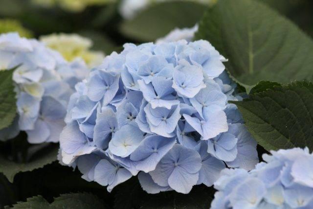 Гортензия: как сделать голубой, отчего зависит цвет