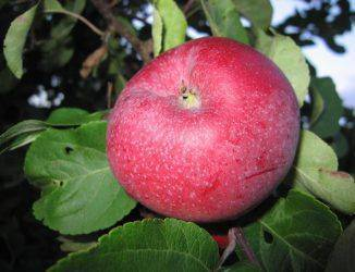 Особенности сорта яблок коричное полосатое