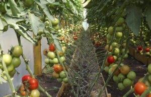 Томат Цыган: отзывы, фото, урожайность