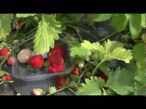 Клубника галя чив — описание сорта, фото и отзывы садоводов