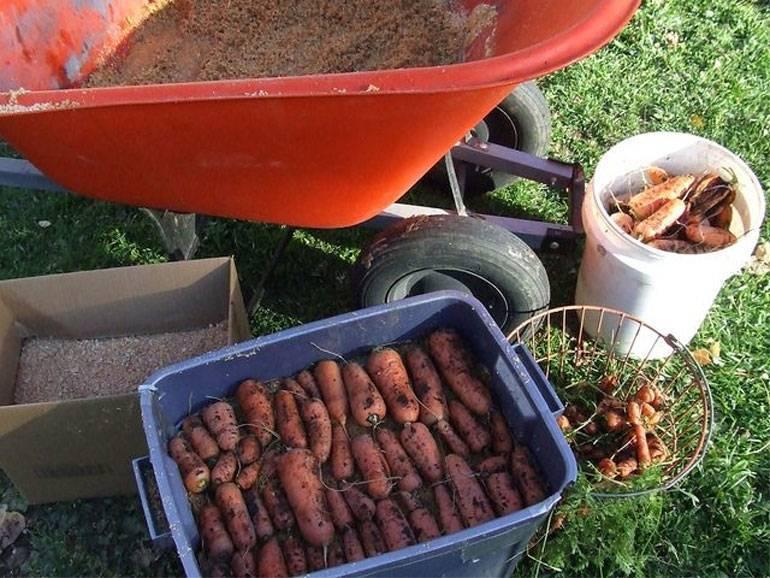 Способы хранения моркови на зиму: технологии консервации в домашних условиях в золе, в кессоне, в пищевой пленке, в вакуумной упаковке, в газетах и другие