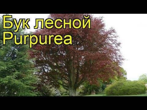 Бук дерево фото где растет. дерево бук: фото и описание