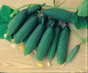 Сорта огурцов для теплиц