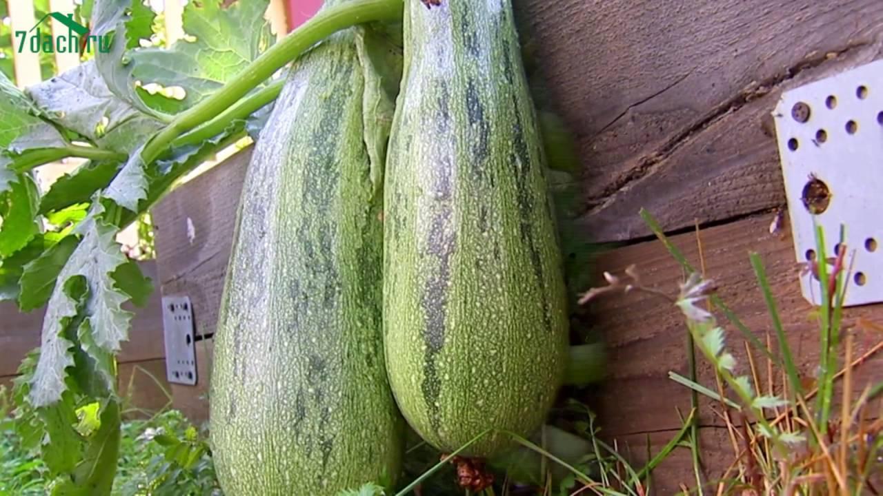 Кабачок заячье ушко (улучшенный) - фото урожая, цены, отзывы и особенности выращивания