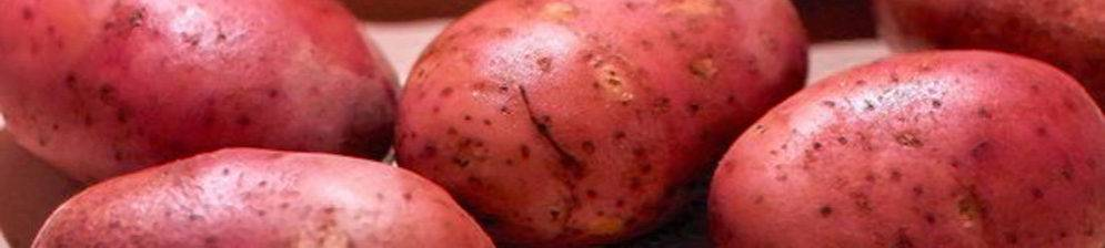 Сорт картофеля рокко. описание, характеристика, фото