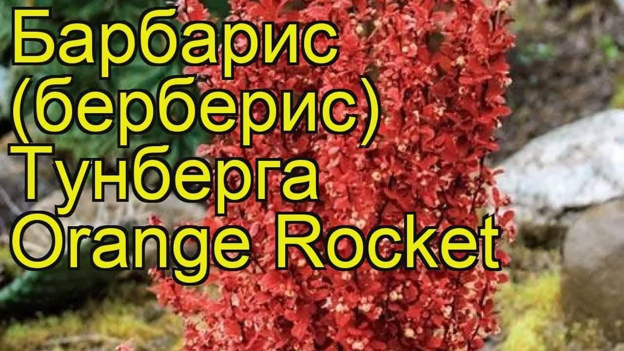 Правила посадки и выращивания барбариса оранж рокет