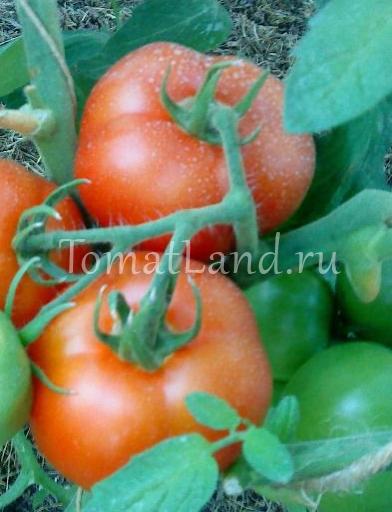 Сорта лабрадор — замечательные по вкусу томаты с ранним сроком созревания